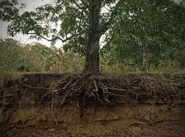 Wikimedia Commons Picture of Roots